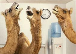 Camels At Office Water Cooler Avanti Humorous  Funny Retirem